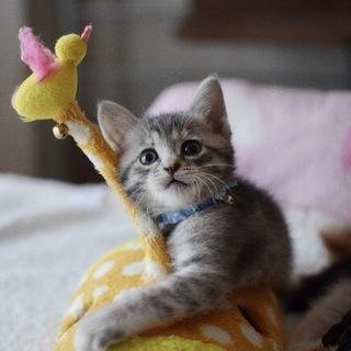 グレーキジの美猫【浬】