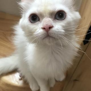 元気いっぱいのブルーアイMIX猫ちゃん♂