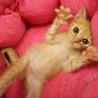 クリクリ可愛い茶トラ子猫ペプシ君 サムネイル3