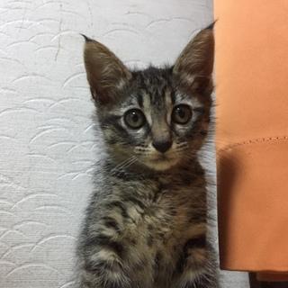 2ヶ月の子猫  アメショ
