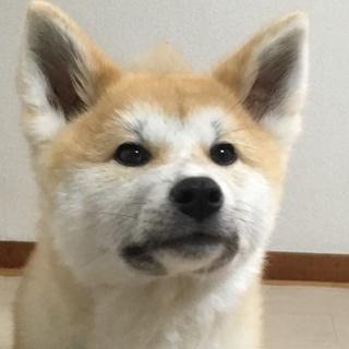 秋田犬7ヶ月里親さん募集