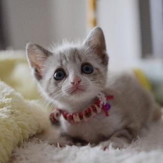 ブルーアイ美猫【初】