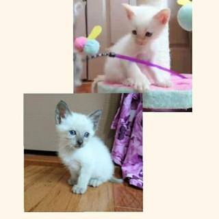 美猫☆甘えん坊☆2匹一緒優先