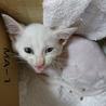 オッドアイの白い子猫 6週くらい