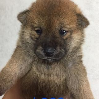 ☆382   1.0キロ  柴犬赤ちゃん