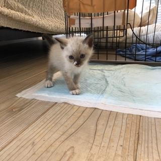 保護猫、引っ越し先で飼えない為飼い主さん募集