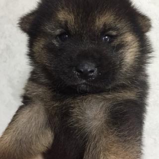 ☆383   1.1キロ  黒柴犬赤ちゃん