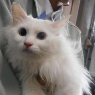 里親様を待っています。成猫 白