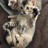 【募集停止】ベンガル×アビシニアンMIX猫
