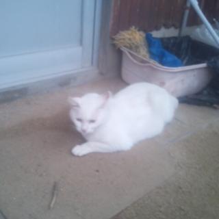 避妊 ワクチン済みの白猫ちゃん