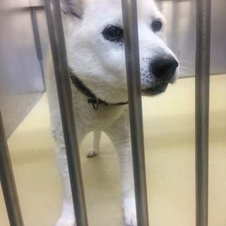 【急募!】散歩がしたい白犬