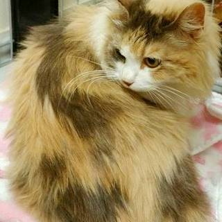 穏やかで美しいパステル三毛長毛のアミちゃん
