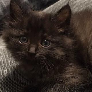 ふわふわ黒猫ちゃんの里親様募集中です。
