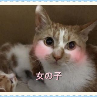 急募!性格◎可愛い茶白猫ちゃん!