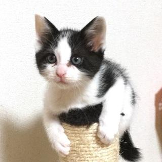 耳折れしている子猫のシュウシュウ