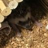 生後6ヶ月のオスのハリネズミ