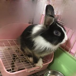 ミニウサギ 黒