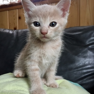2ヶ月☆クリーム☆グレー☆子猫