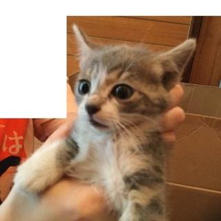 1か月齢前後推定メス猫、サバトラ(色薄目)