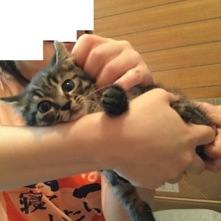 1か月齢前後推定オス猫、サバトラ(色濃目)