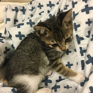 生後2ヶ月のハチワレ♀と白キジ♂の子猫ちゃん
