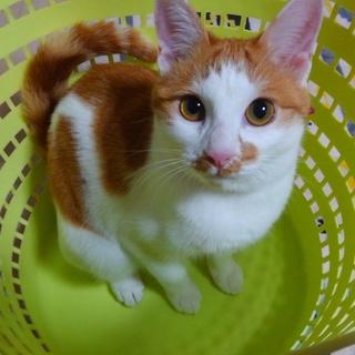 推定9ヵ月程の♀野良三毛猫を保護しています。