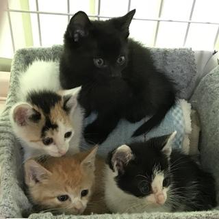 つぶらな瞳かわいい仔猫4匹 4週目 増えました