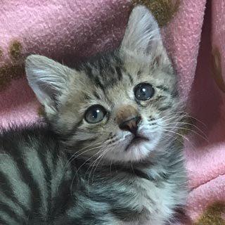 【キジ虎/雄2ヶ月ワクチン済】子猫里親募集【関東】
