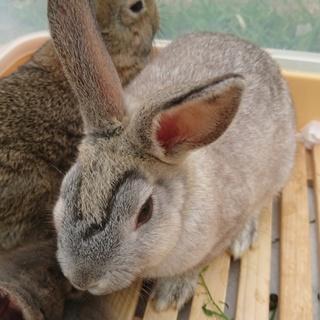 両津勘吉の様な眉のミニウサギの男の子