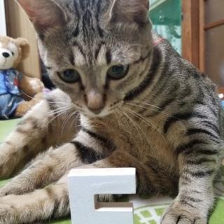 【 成猫】人なっつこいです。【避妊済み 】
