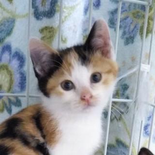 三毛猫ミコちゃん、もうすぐ2ヶ月、マコちゃんと姉妹
