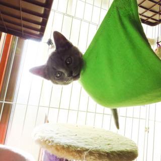 少しクルクル、天パのロシアンブルーのような仔猫です