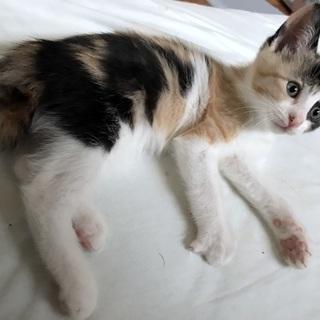 三毛子猫 元気いっぱいおてんばチコちゃん