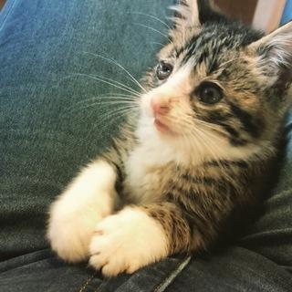 生後2〜3ヶ月のきじしろ子猫です♬