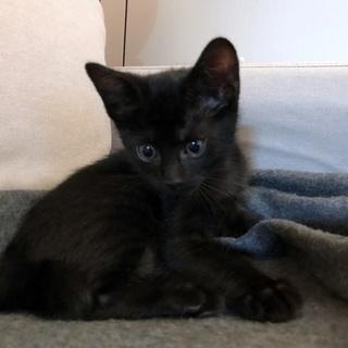 黒子猫生後2か月 しっぽがピカチュウ