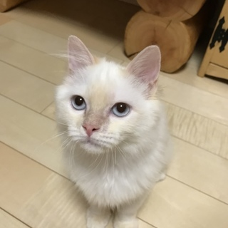 ヤンチャで甘えん坊なブルーアイMIX猫ちゃん♂