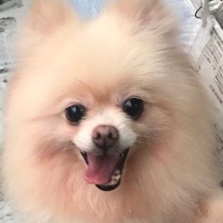 ポメラニアンの成犬