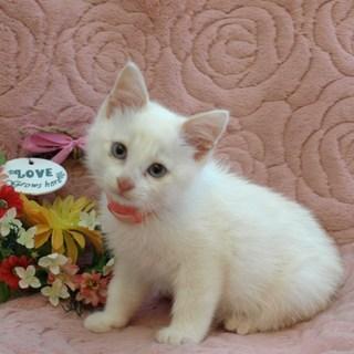 可愛い甘えん坊の白猫ちゃんです
