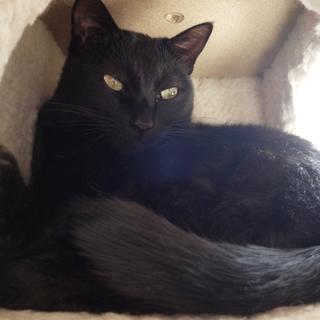 7歳オスの黒猫