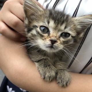 生後6週 保護猫♂