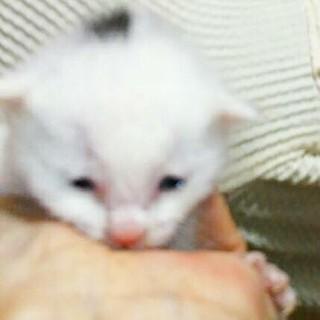 生後10日前後、目が開いたばかりの白い仔猫♂