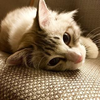 甘えん坊でビビりの長毛猫です
