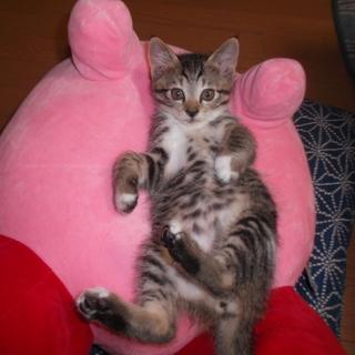 5月初旬に生まれたキジシロの子猫です!