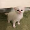 美人な白猫の子猫ちゃんです