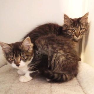 ふわふわ半長毛子猫の美人姉妹