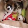 子犬2ヶ月弱、プッチ♂一旦募集停止
