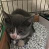 生後2ヶ月のハチワレブルー子猫