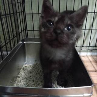 処分間近 ブラックスモークの子猫 動画あり