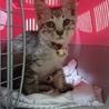 ❤️わんぱくキジトラ子猫ちゃん約2ヶ月男の子❤️