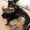 黒柴系ミックス。元野犬の穏やかな母犬「詩音」 サムネイル5